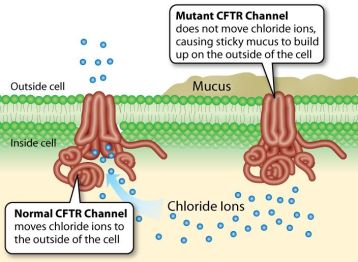 Diagram of how the cystic fibrosis transmembrane conductance regulator works at the molecular level.